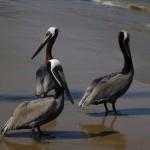 Group pelican
